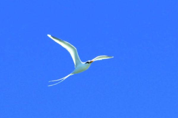 oiseau_paile_en_queue_irt_emmanuel_virin